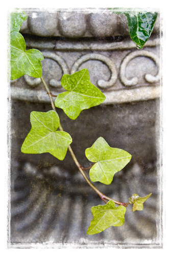 Ivy and planter