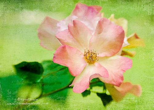 Rose, Flutter-bye