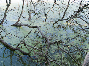 Branches in a lake