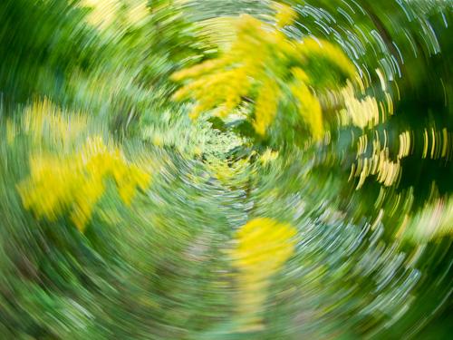 Goldenrod Motion Blur